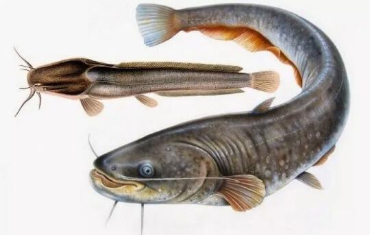 Jenis Ikan Lele