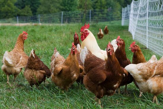 Jenis Ayam Petelur terbaik