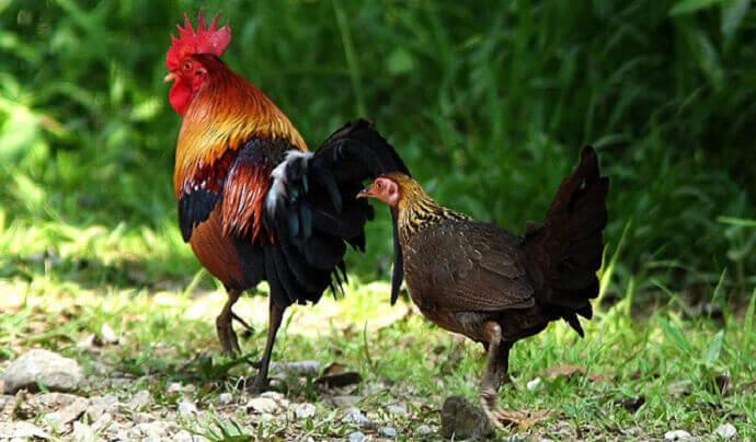 perawatan ayam hutan
