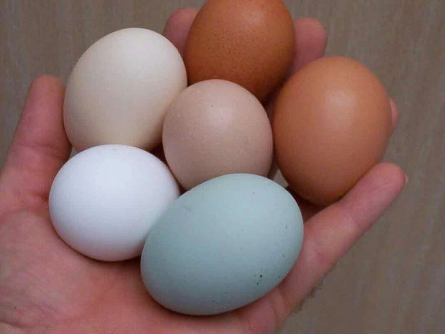 Telur ayam birma