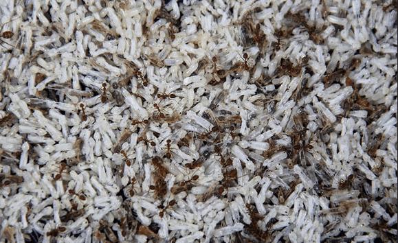 peluang usaha ternak semut kroto