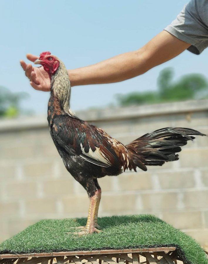 cara memilih indukan ayam birma