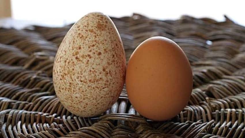 cara membedakan telur jantan dan betina