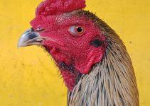 ciri-ciri ayam pakhoy