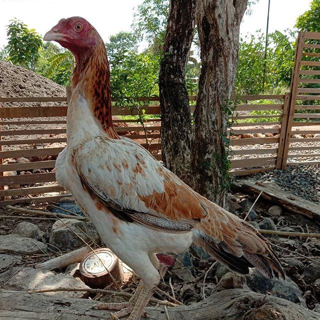 kelebihan ayam pakhoy