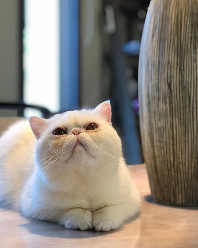 persian flatnose