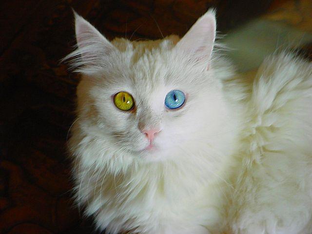 Ciri-ciri Kucing Persia
