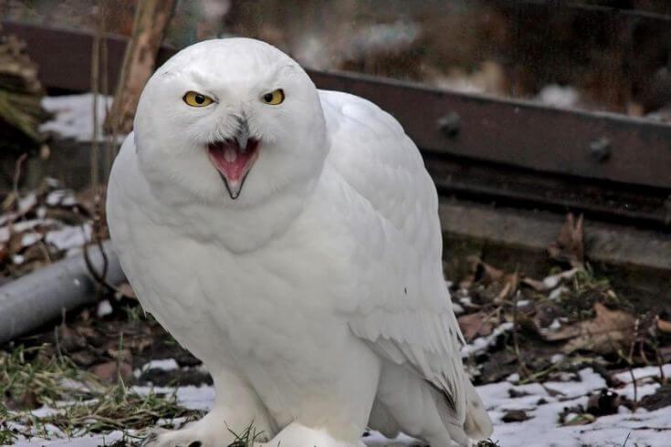 Harga Burung Hantu Putih