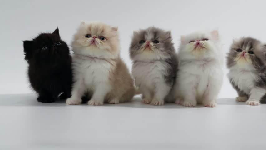 Daftar Harga Kucing Persia Medium
