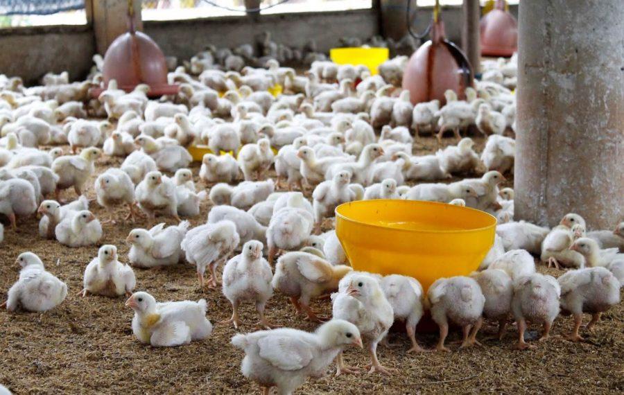 Jenis pakan ayam broiler