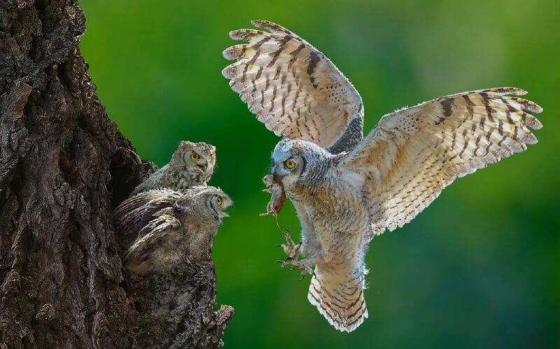Makanan Burung Hantu Liar