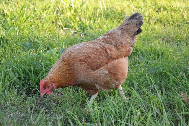 keunikan ayam petelur elba