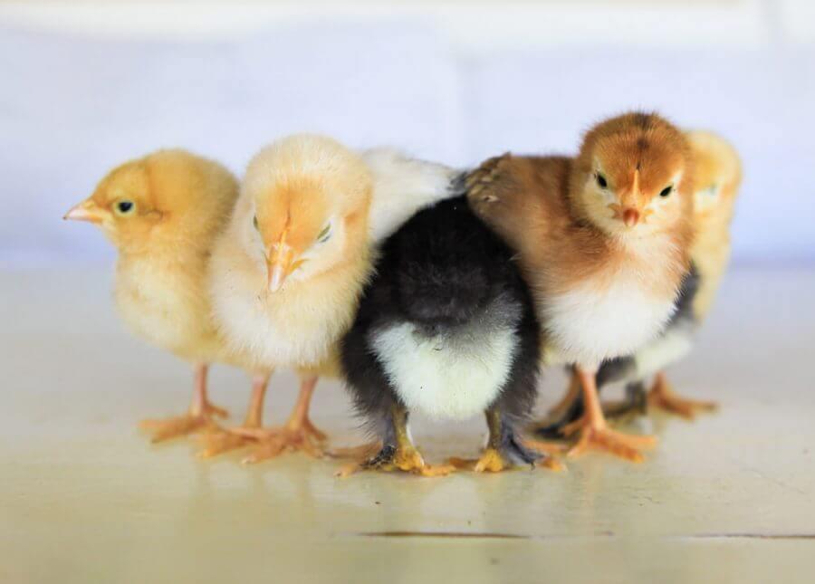 Penyakit Ayam Broiler