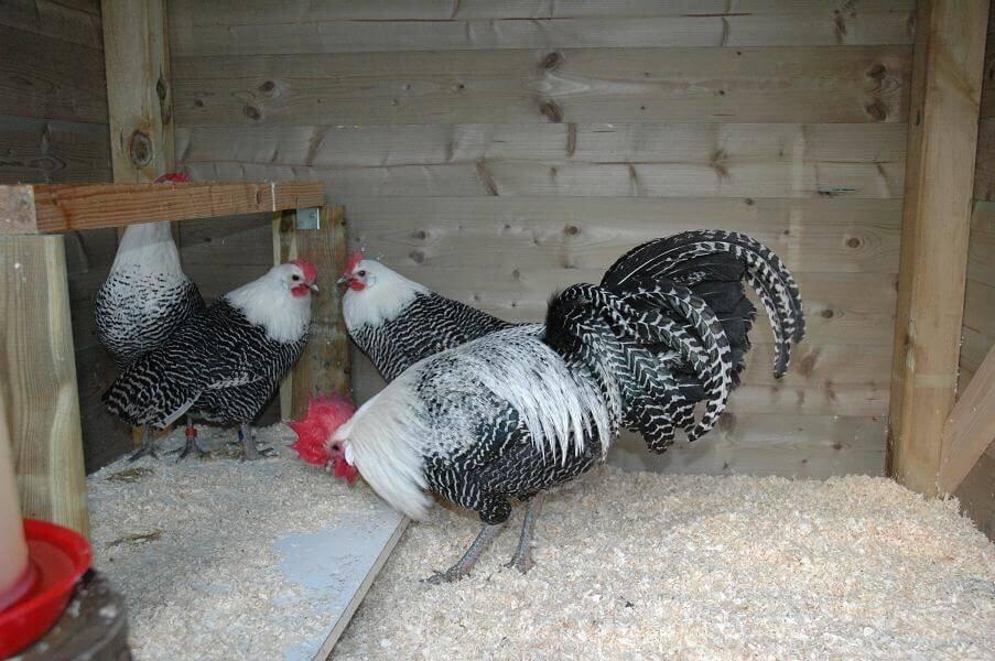 Perbedaan Ayam Elba dan Ayam Arab