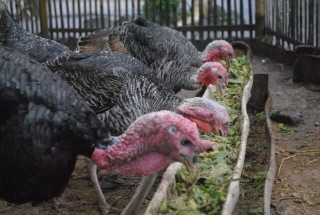 Bahan-Bahan Makanan Ayam Kalkun