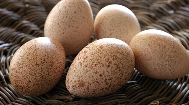 Ciri-Ciri Telur Ayam Kalkun