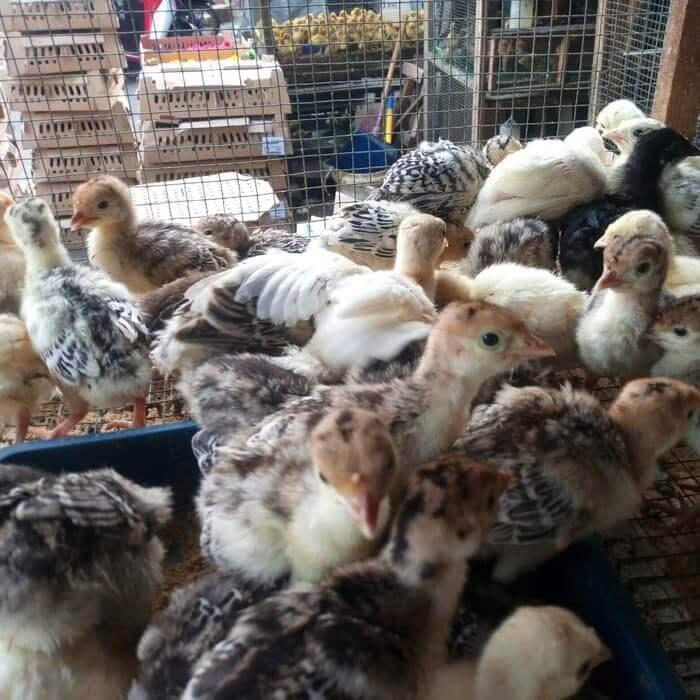 Makanan Anakan Ayam Kalkun