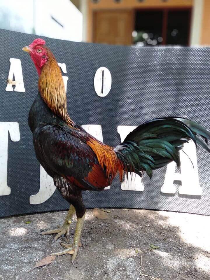Ayam Mangon adalah