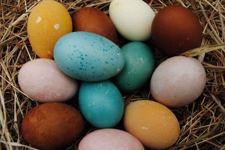Warna Telur Ayam Pakhoy