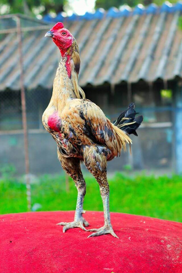 Apa Itu Ayam Pama