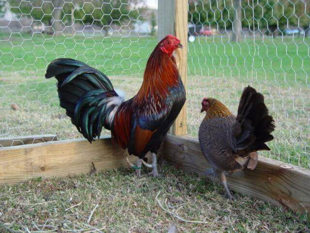 amerikan game bantam chicken
