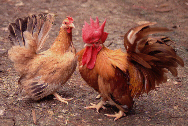 daftar ayam kater ceper