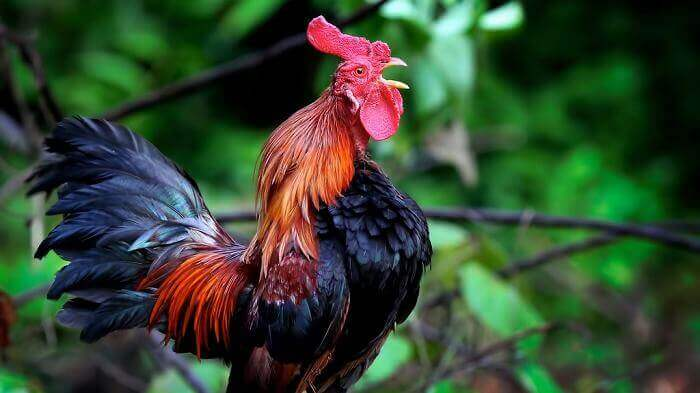 perawatan ayam kate