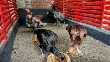 harga ayam khoytrad