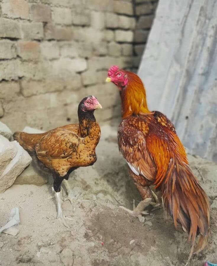 macam macam ayam aseel