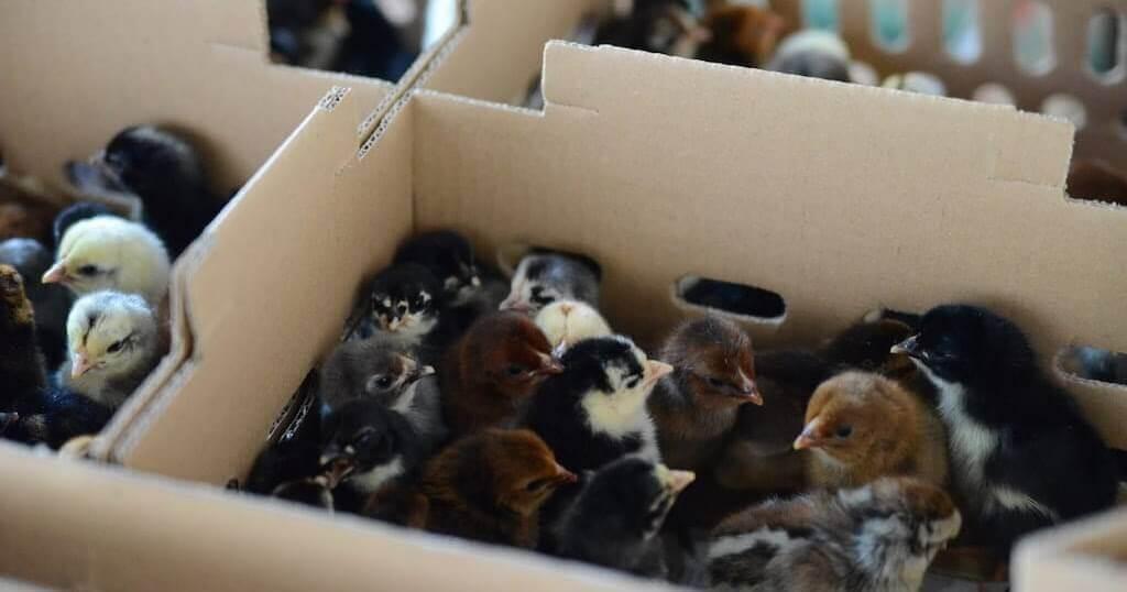 kekurangan ayam arab