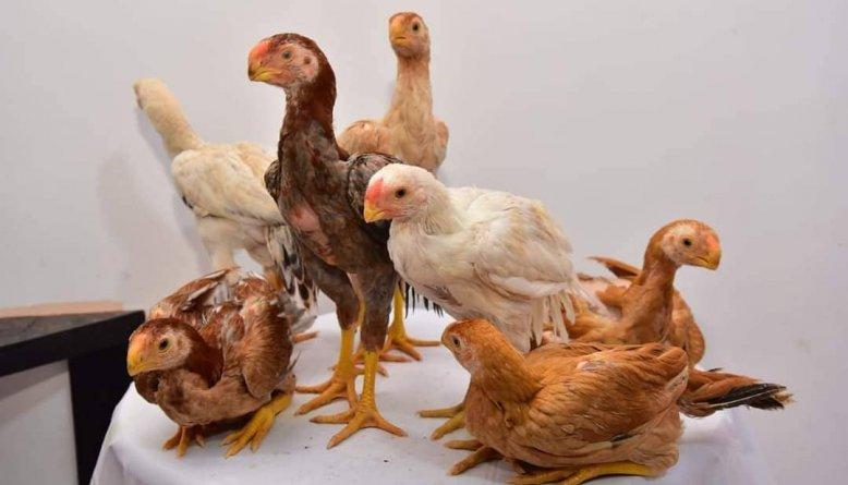 keunggulan ayam aseel