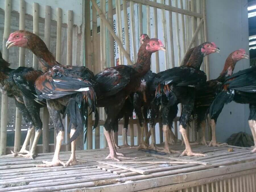 perawatan ayam ciparage