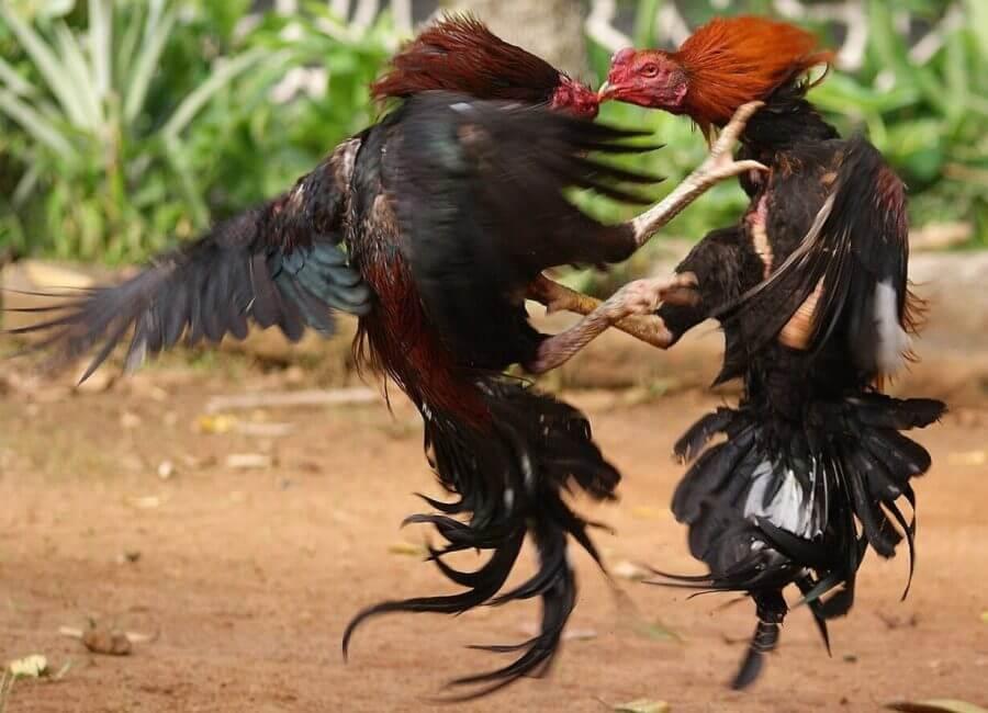 teknik bertarung ayam shamokoy