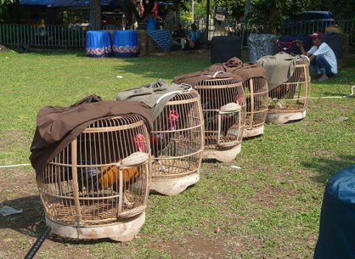 Penilaian Lomba Ayam Bekisar