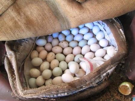 cara menetaskan telur ayam tanpa lampu