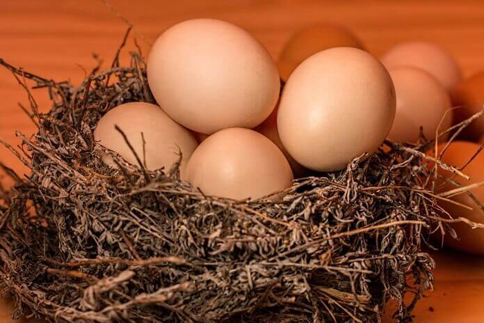 Cara memilih ayam telur tetas