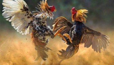cara memilih ayam pukul mematikan