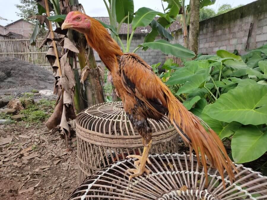 Kelebihan Ayam Ekor Lidi