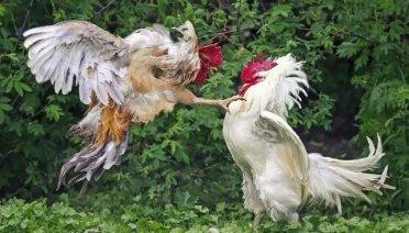 Jamu Ayam Aduan Ganas