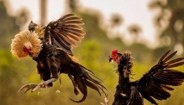 keunggulan ayam pukulan saraf