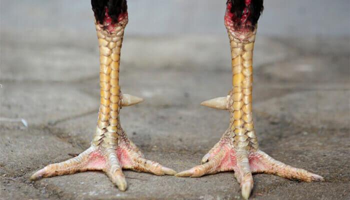 Tulangan kaki ayam pembunuh