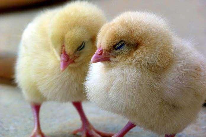 cara merawat anak ayam sakit
