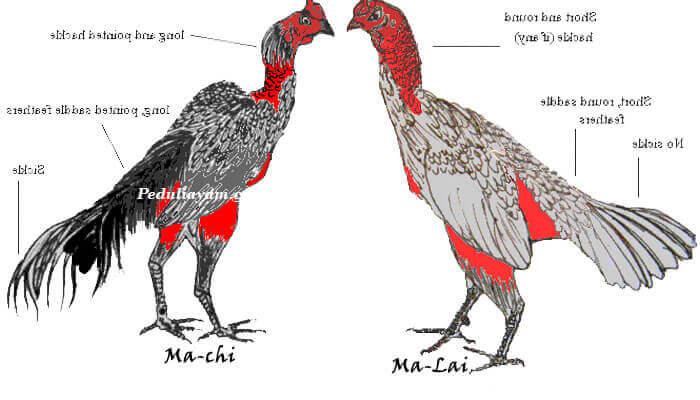 Karakteristik Ayam Ganoi