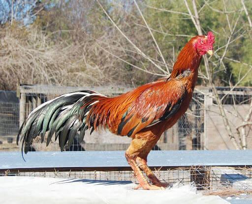 Kelebihan Ayam Plucker