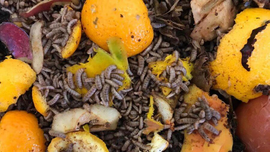 Makanan Maggot BSF