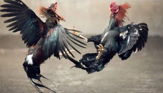 Ayam bangkok petarung sadis