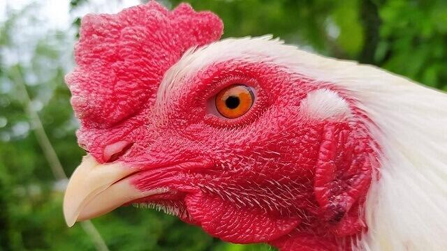 Cara Merawat Ayam Jago Putih