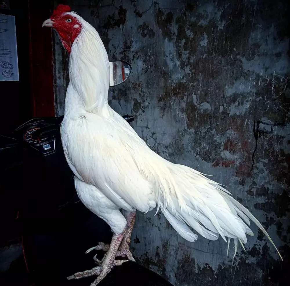 Keistimewaan ayam jago bangkok putih
