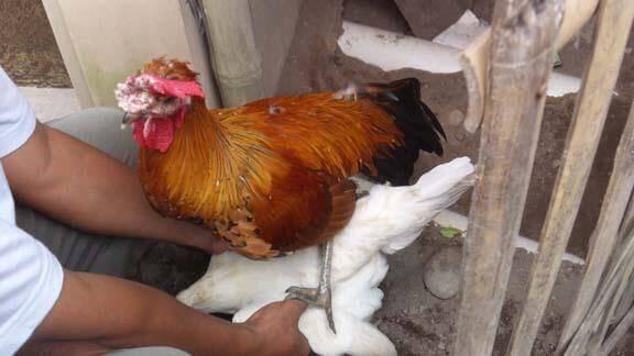 Cara Melatih Ayam Kawin Duduk