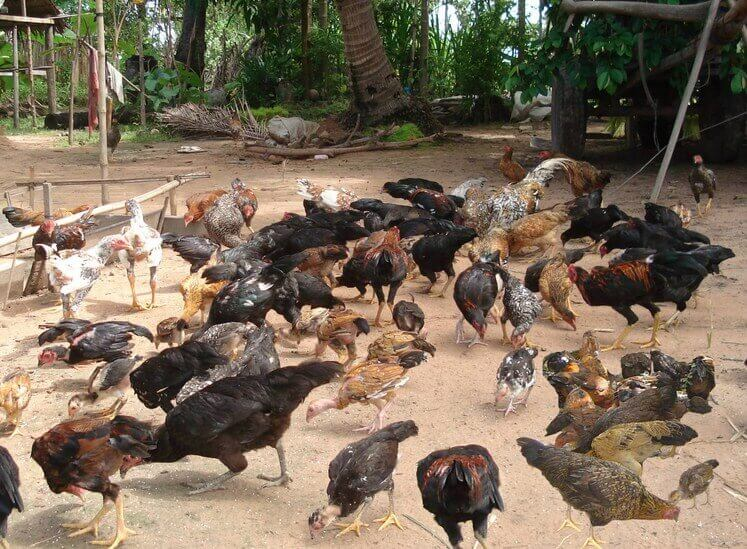 Kekurangan ayam hasil perkawinan sedarah